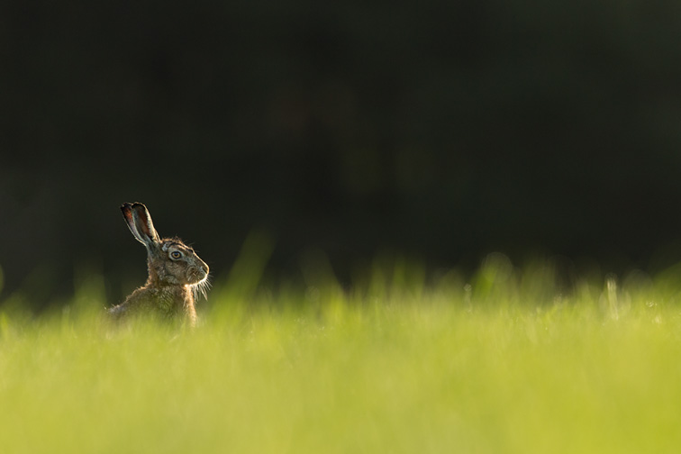 Brown Hare (Lepus capensis) sitting in field of fresh green grass