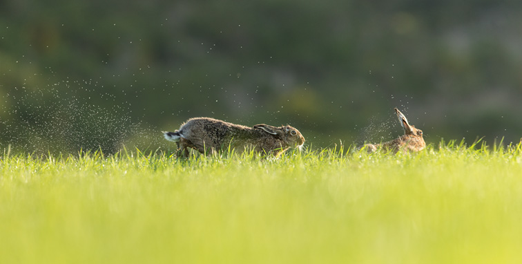 Brown Hare (Lepus capensis) male running through grass chasing rival male