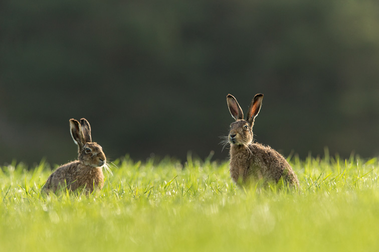 Brown Hare (Lepus capensis) male and female sat together in field
