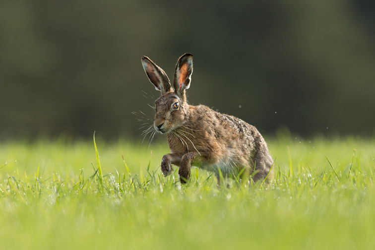 Brown Hare (Lepus capensis) running through field of grass