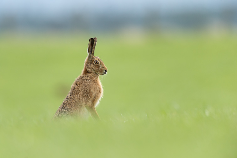 Brown Hare (Lepus capensis) sat upright in alert pose in field of grass