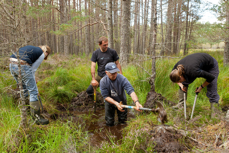 RSPB staff and volunteers building a natural dam to create area of wet woodland, RSPB Abernethy Forest Reserve,  Cairngorms National Park, Scotland, UK (model released)
