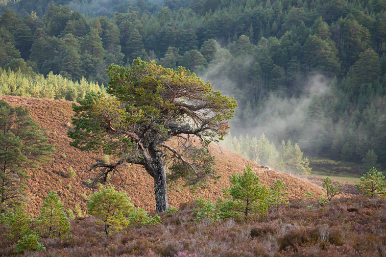 Scattered Scot's pines (Pinus sylvestris) on moorland, Abernethy NNR, Cairngorms National Park, Scotland, UK