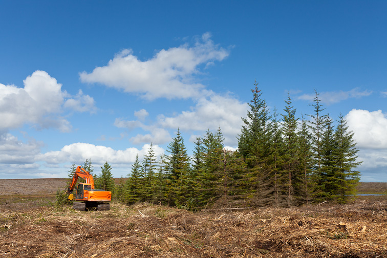 Removal of pine trees from area of peat bog as part of Forest to Bog habitat restoration project, Forsinard Flows RSPB Reserve, Sutherland, Scotland, UK