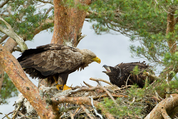 White-tailed eagle (Haliaeetus albicilla), adult feeding chick at nest, Wester Ross, Scotland, June