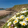 Oxeye daisies on grassy cliffs above Marloes Sands, Pembrookshire Coast National Park, Wales, UK