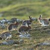 Mountain Hare (Lepus timidus) group of five on moorland, Scotland