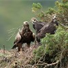 Golden eagle (Aquila chyrsaetos) female with twig in bill at nest site in pine tree, Cairngorms National Park, Scotland