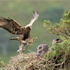Golden eagle (Aquila chyrsaetos) male flying into nest site with prey for chicks, Cairngorms National Park, Scotland