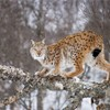 European lynx Felis lynx female stood on fallen birch tree. Norway. March (Controlled conditions)