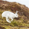Mountain Hare (Lepus timidus) adult in white winter coat running across moor
