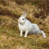 Mountain Hare (Lepus timidus) adult in white winter coat stretching legs