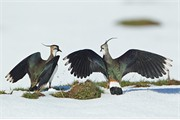 Lapwing Vanellus vanellus two males fighting over territory on snow covered field in early spring, Scotland, UK