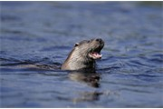 European Otter - Lutra lutra - adult feeding in water. UK. March.