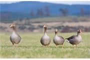 Greylag Goose Anser anser group of four adults feeding in arable field in late winter. Scotland. March.