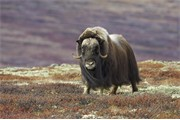 Musk Ox - Ovibos moschatus - portrait of female on tundra in autumn. Dovrefjell - Sunndalsfjella National Park, Norway. September 2005.