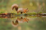 Red Squirrel portfolio gallery